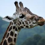 Longleat Safari Park Rothschild's Giraffe
