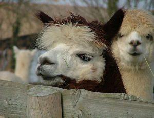 Llama Camelids Glynde