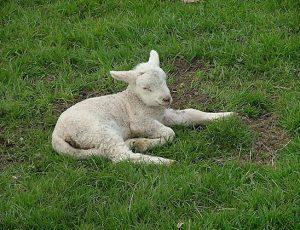 Lambs Sheep Firle